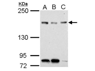 NFKBIL2 Antibody