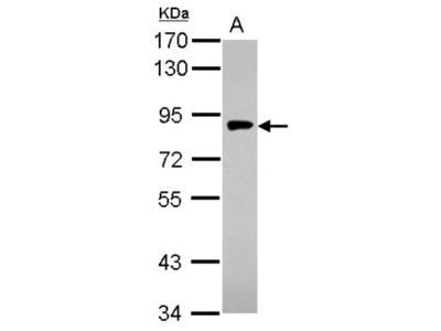 Gamma Adaptin Antibody