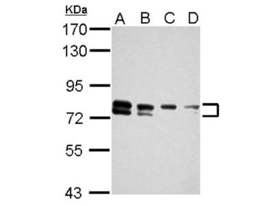 TBC1D15 Antibody