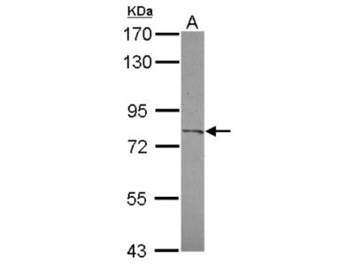 CPXM2 Antibody