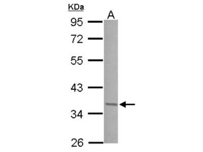 JunD Antibody