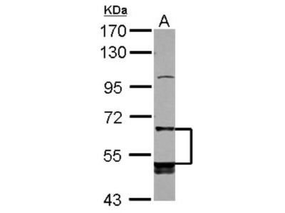 Rabbit Polyclonal LIR-8 / CD85c / LILRB5 Antibody