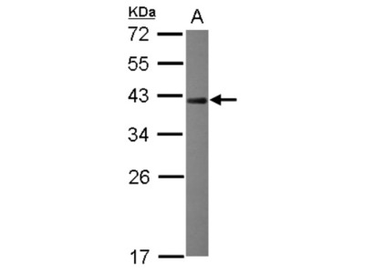 NRBF2 Antibody