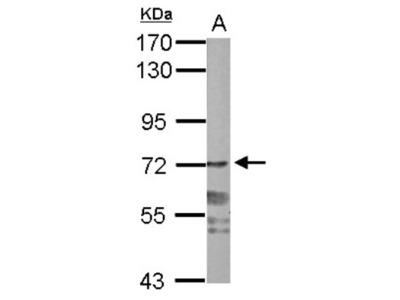 Rabbit Polyclonal PPWD1 Antibody