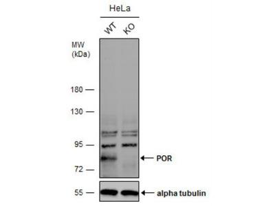 POR / Cytochrome P450 Reductase Antibody