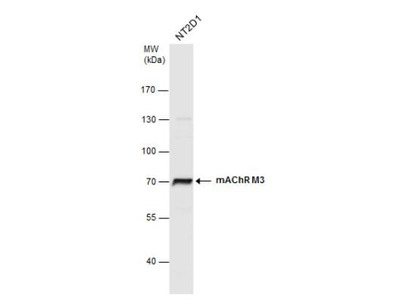 Muscarinic Acetylcholine Receptor M3 / CHRM3 Antibody