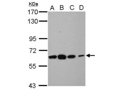 Rabbit Polyclonal Tubby Antibody