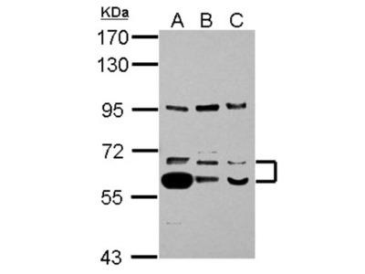 Thioredoxin Reductase 1/TRXR1 Antibody