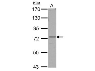 AMFR / gp78 Antibody
