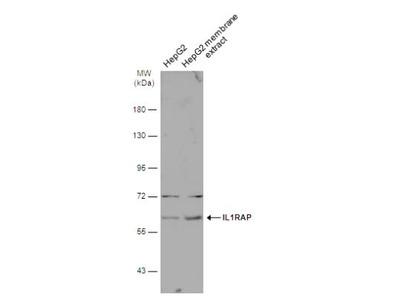 IL-1 RAcP / IL-1 R3 Antibody