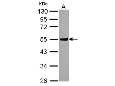 Clusterin-like 1 /CLUL1 Antibody