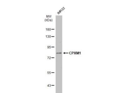 Carboxypeptidase X1 / CPXM1 Antibody