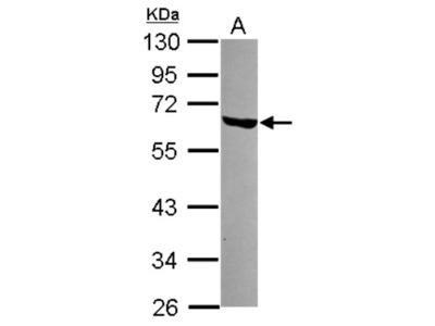 Rabbit Polyclonal LSM14A Antibody
