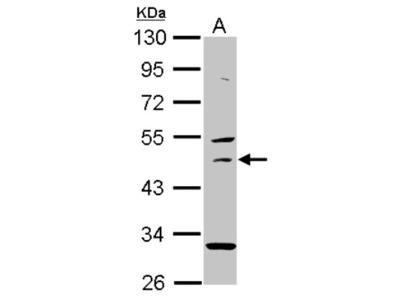 USH1G Antibody