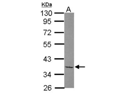 TAF148 Antibody