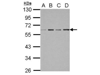 FXR /NR1H4 Antibody