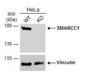Rabbit Polyclonal SMARCC1 Antibody