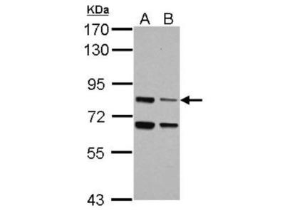 LSG1 Antibody