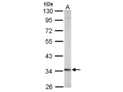 Rabbit Polyclonal PURA Antibody