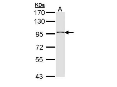 TAS1R1 Antibody