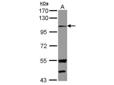 Rabbit Polyclonal Exostosin-like 3 / EXTL3 Antibody