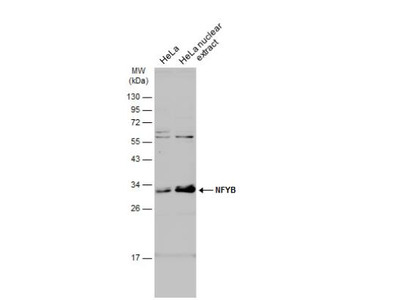 Rabbit Polyclonal NFYB Antibody