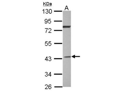 G protein alpha Inhibitor 2 Antibody