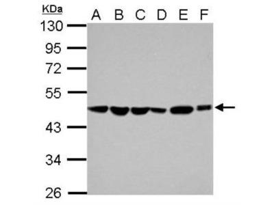 ADE2 Antibody