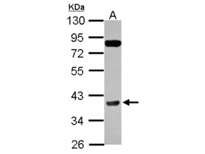 Cyclin H Antibody