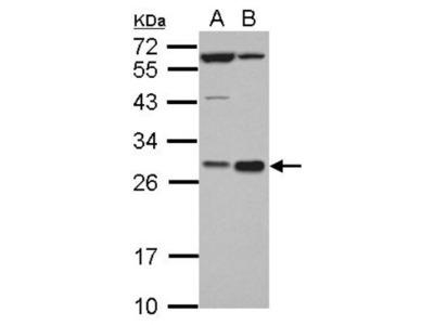 Rabbit Polyclonal HHEX Antibody