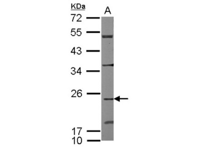 Rabbit Polyclonal CDC42EP2 Antibody