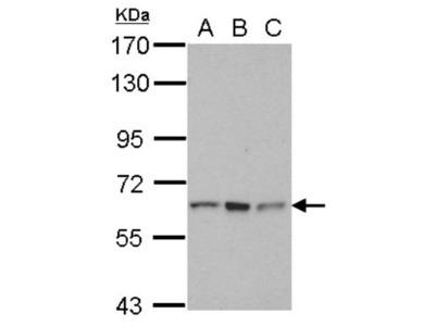 RNF12 Antibody