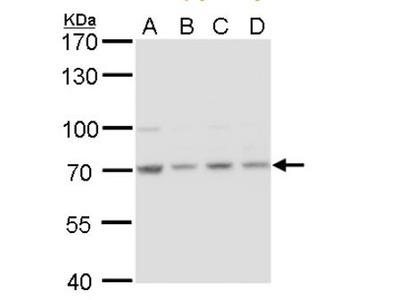 HSPA8 / HSC71 / Hsc70 Antibody