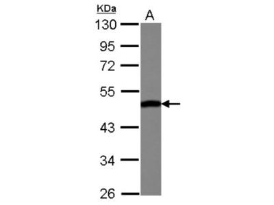 ENO3 Antibody