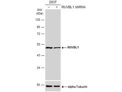 Rabbit Polyclonal RUVBL1 Antibody