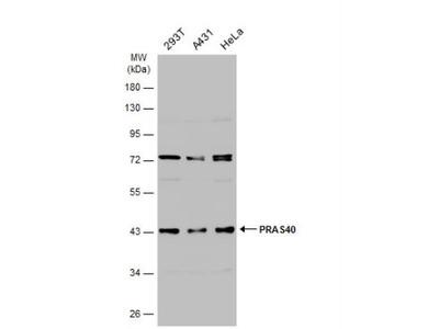 Rabbit Polyclonal PRAS40 Antibody