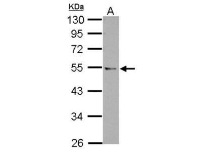 CCDC97 Antibody