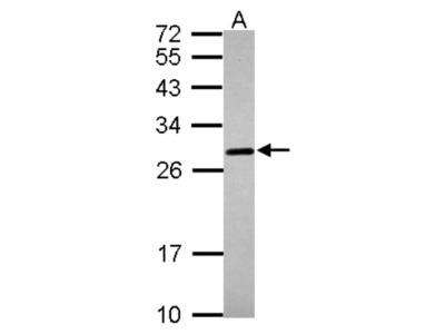 Prion protein Antibody