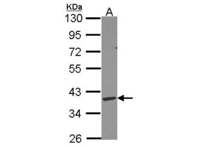 Rabbit Polyclonal DNASE1L3 Antibody