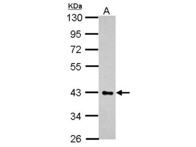 HS3ST2 Antibody