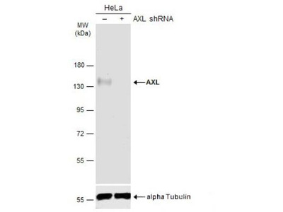 Axl Antibody