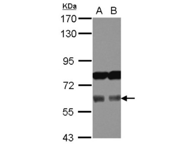 AAAS Antibody