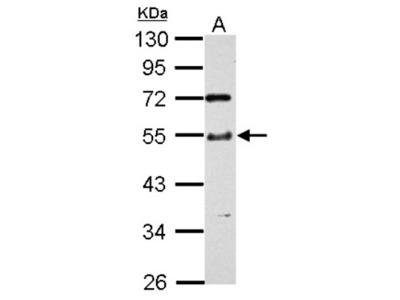 TTC31 Antibody