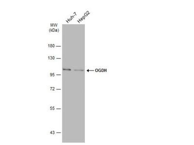 Rabbit Polyclonal OGDH Antibody