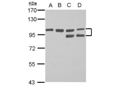 FAM115C Antibody