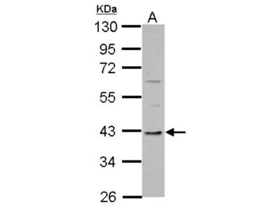 TMEM59L Antibody