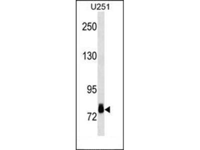 RPS6KA3 antibody