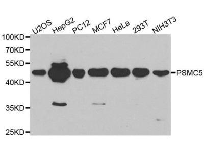 PSMC5 antibody