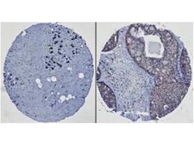 HEF1 antibody