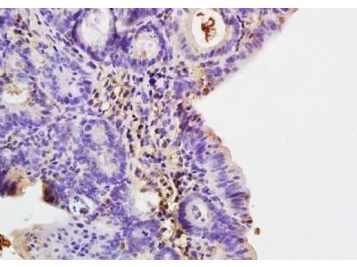 COLEC10 antibody